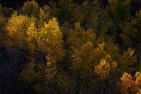 Aspen Sunbeam