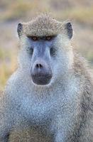 Amboseli National Park, Baboon