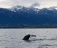 Sperm Whale Diving at Kaikoura