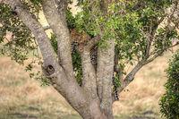 Masai Mara National Park, Leopard