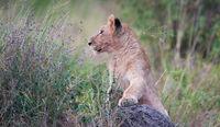 Masai Mara National Park, Lion, Cub