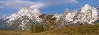 Old Patriarch Pine Tree and Teton Range Panorama