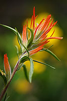 Indian Paintbrush, Vedauwoo, Flower
