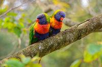 Rainbow Lorikeet, Murramarang National Park