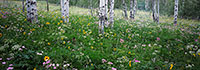 Grand Teton National Park, wildflower, aspen, panorama