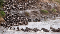 Mara River, Masai Mara National Park, Wildebeest, Migration