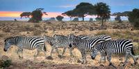 Masai Mara National Park, Sunrise, Zebra