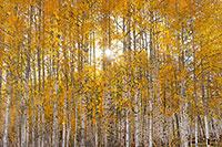 Aspen Forest Sunburst