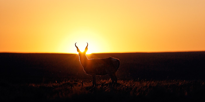 Antelope, Sunset, Silhouette, photo