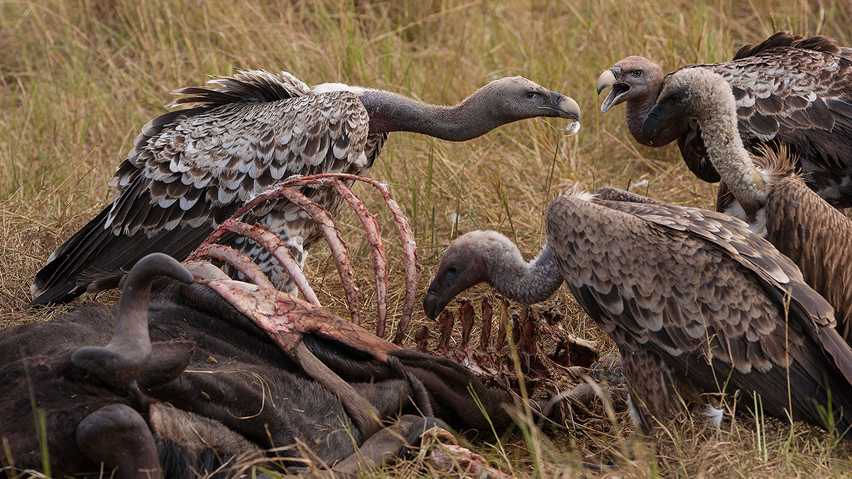 Masai Mara National Park, Vulture, photo