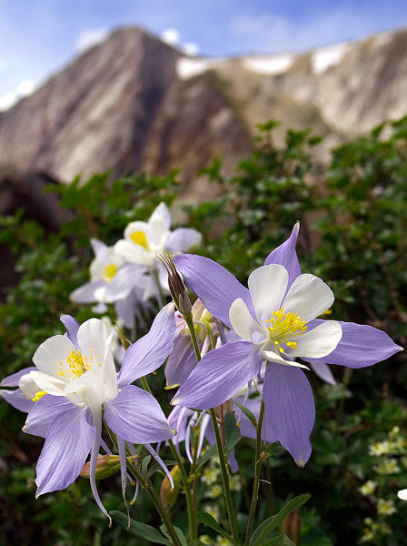 Columbines, Snowy Range, Medicine Bow Peak, Wildflower, Medicine Bow National Forest, photo