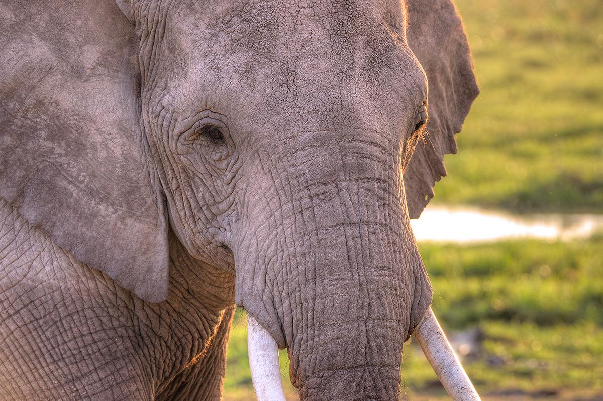Amboseli National Park, Elephant