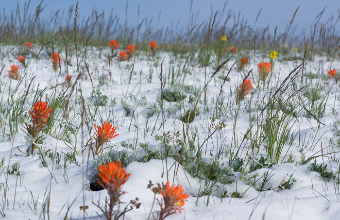 Indian Paintbrush, Snow, Medicine Bow National Forest, photo