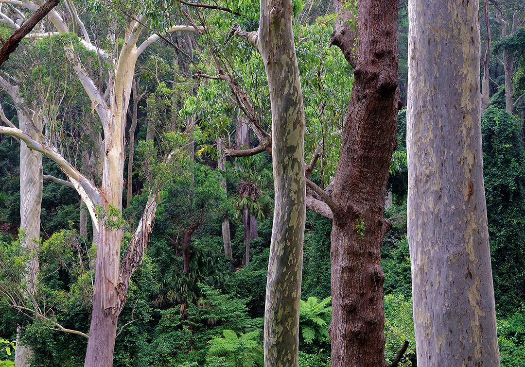 rainforest, Kiola, south, coast, Murramarang, National, Park, NSW, Australia