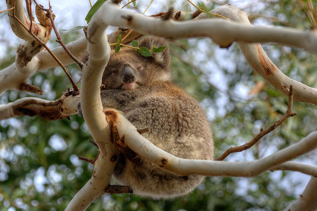 Koala, photo