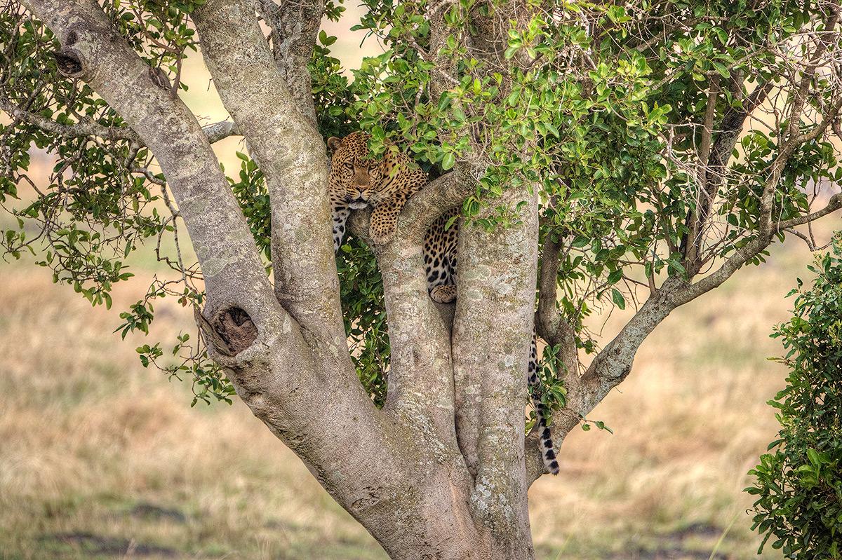 Masai Mara National Park, Leopard, photo