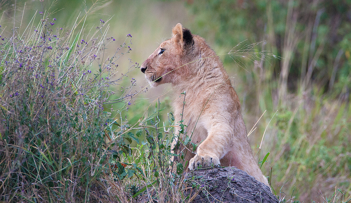 Masai Mara National Park, Lion, Cub, photo