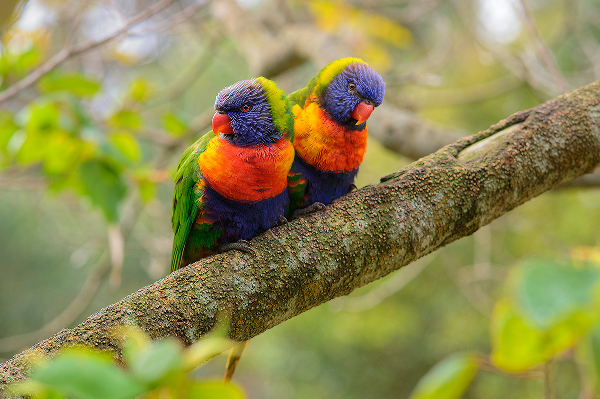 Rainbow Lorikeet, Murramarang National Park , photo