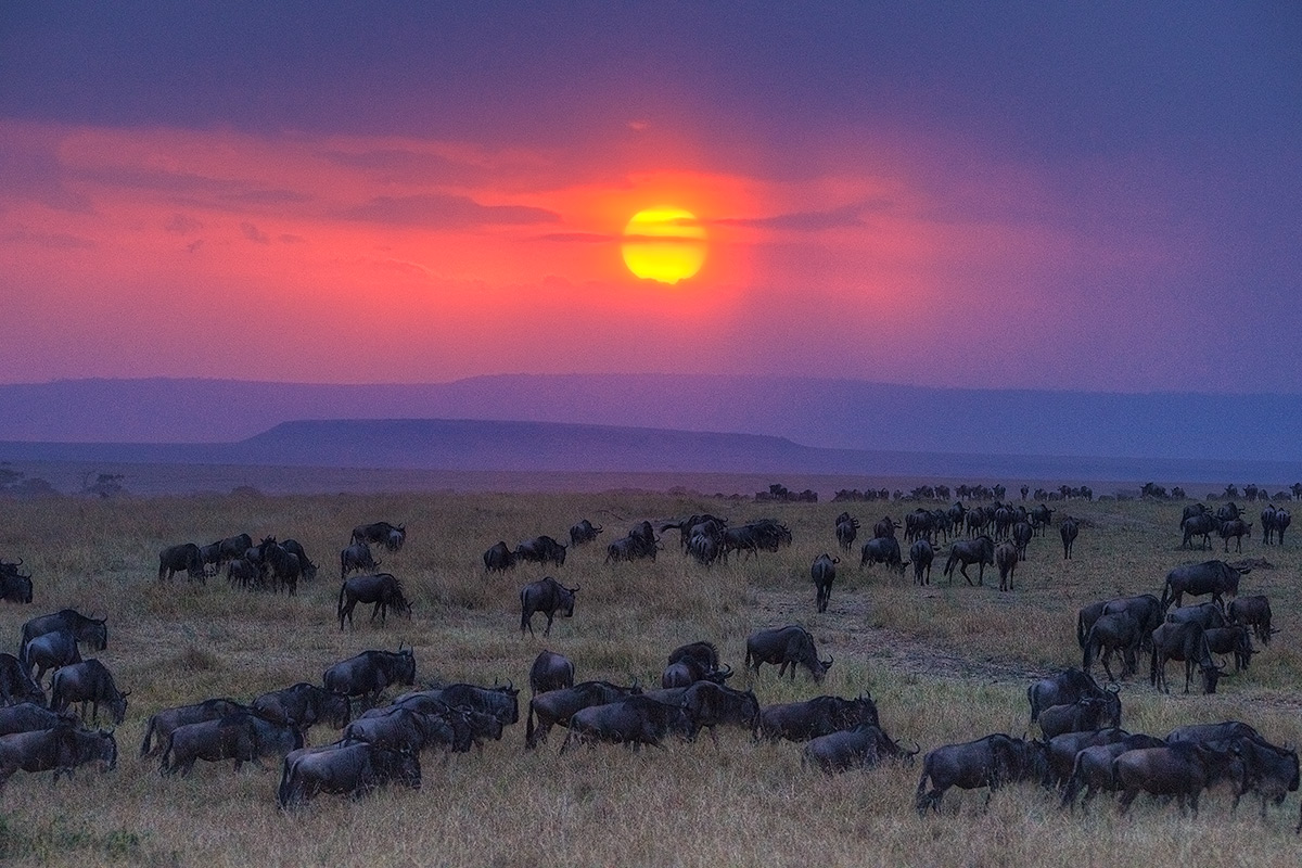 Masai Mara National Park, Wildebeest, photo