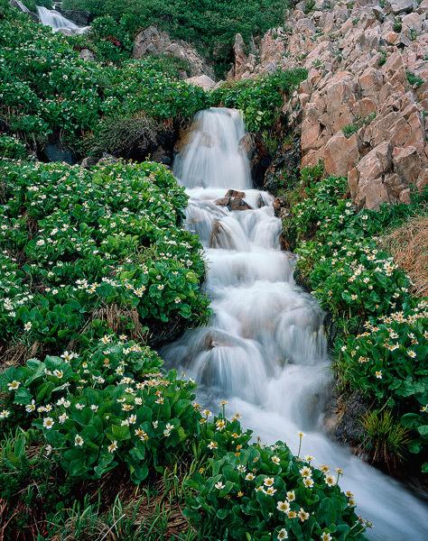 Snowy Range, waterfall, wildflower, marsh marigolds, photo