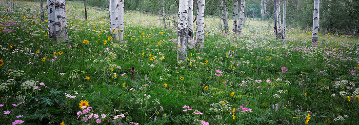 Grand Teton National Park, wildflower, aspen, panorama, photo