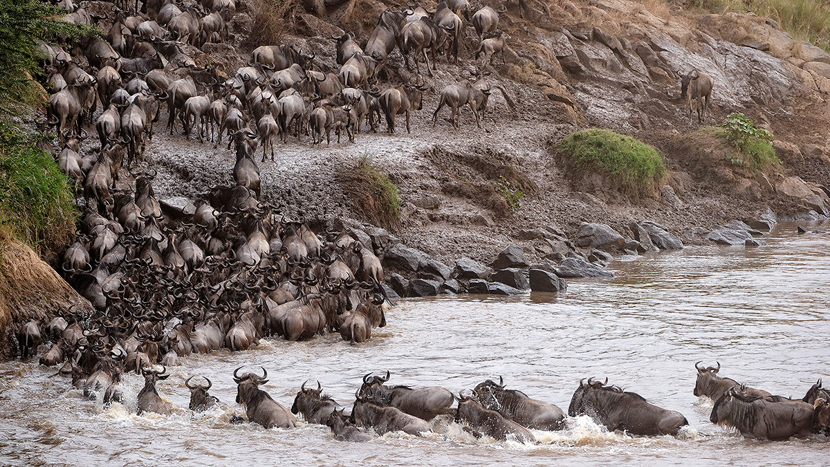 Mara River, Masai Mara National Park, Wildebeest, Migration, photo