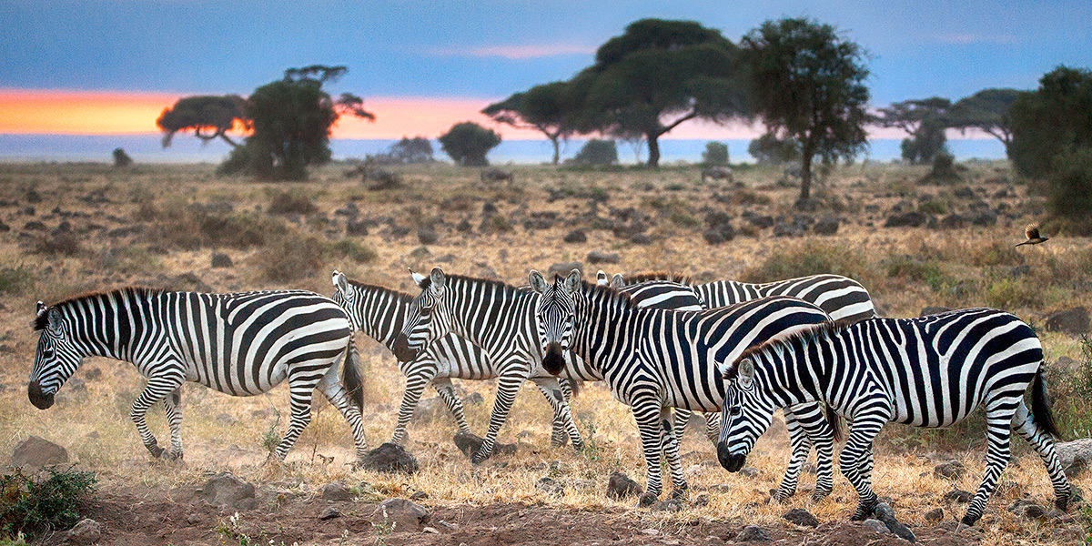 Masai Mara National Park, Sunrise, Zebra, photo