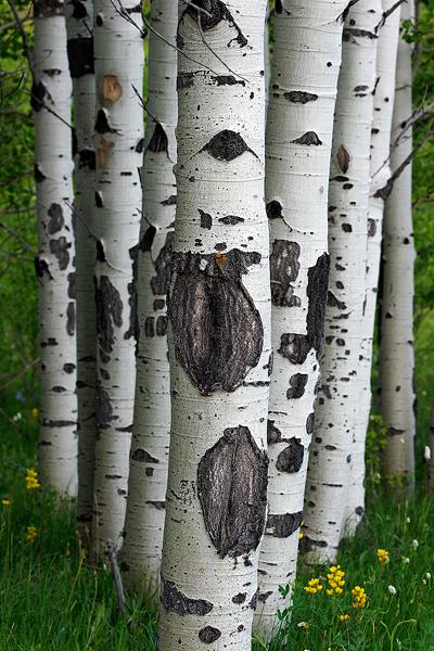Aspen, Forest, Vedauwoo, photo