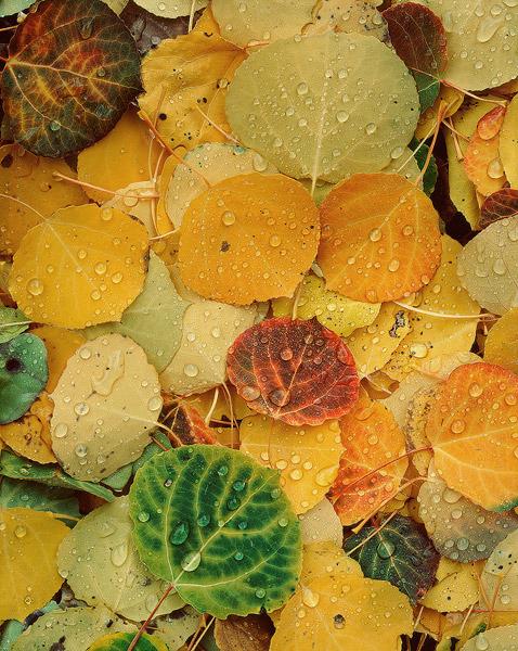 Aspen, Leaves, Vedauwoo, photo